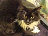 Domestic Medium Hair - Cookie - Large - Adult - Female