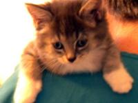 Domestic Medium Hair - Count - Medium - Baby - Male -