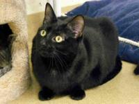 Domestic Medium Hair - Daisy Mae - Small - Adult -