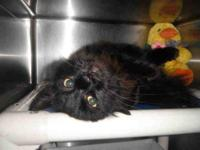Domestic Medium Hair - Dexter - Large - Adult - Male -