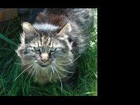 Domestic Medium Hair - Eddie - Medium - Young - Male -