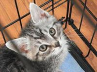 Domestic Medium Hair - Ella - Small - Baby - Female -