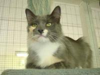 Domestic Medium Hair - Friday - Medium - Young - Female