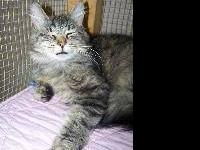 Domestic Medium Hair - Garrison - Small - Young - Male