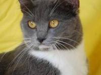 Domestic Medium Hair - Gladolia - Small - Adult -