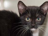 Domestic Medium Hair - Glitz - Small - Baby - Female -