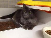 Domestic Medium Hair - Godfrey - Medium - Adult - Male