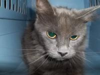 Domestic Medium Hair - Gray - Amanda C-2012-1077 -
