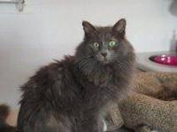 Domestic Medium Hair - Gray - Amelia - Medium - Young -