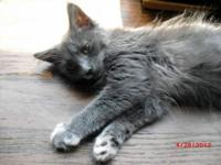 Domestic Medium Hair - Gray Gracin is a 3 1/2 month old
