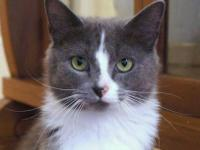 Domestic Medium Hair - Gray and white - Brandon -