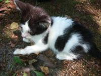 Domestic Medium Hair - Gray and white - Moo Moo Kitty -