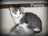 Domestic Medium Hair - Gray and white - Pammy - Medium