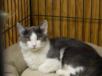 Domestic Medium Hair - Gray and white - Randi - Medium