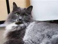 Domestic Medium Hair - Gray and white - Smokie Girl -
