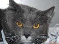 Domestic Medium Hair - Gray and white - Steve - Large -