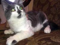Domestic Medium Hair - Gray and white - Toes - Large -