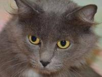 Domestic Medium Hair - Gray and white - Vanna - Medium