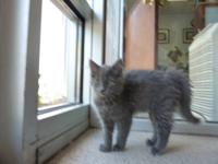 Domestic Medium Hair - Gray - Arya - Medium - Young -