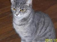 Domestic Medium Hair - Gray - Christy - Small - Young -