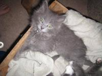 Domestic Medium Hair - Gray - Kateia - Medium - Baby -