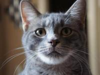 Domestic Medium Hair - Gray - Louie - Small - Young -