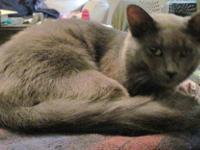 Domestic Medium Hair - Gray - Luigi - Small - Young -