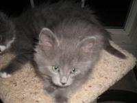 Domestic Medium Hair - Gray - Snow - Medium - Baby -