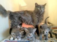 Domestic Medium Hair - Gray - Tanya And 4 Kittens -