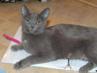 Domestic Medium Hair - Gray - Yoko - Medium - Young -