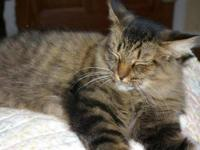 Domestic Medium Hair - Gypsy - Small - Adult - Female -