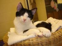 Domestic Medium Hair - Isaac - Medium - Baby - Male -
