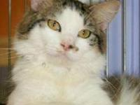 Domestic Medium Hair - Jack - Small - Adult - Male -