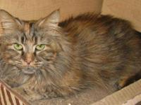 Domestic Medium Hair - Jade - Medium - Senior - Female