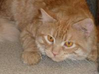 Domestic Medium Hair - Jasper - Medium - Adult - Male -