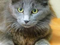 Domestic Medium Hair - Kac Emma - Medium - Young -