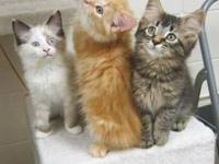 Domestic Medium Hair - Kittens~kittens~kittens - Medium