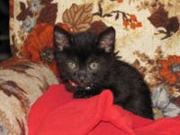 Domestic Medium Hair - Knack - Large - Baby - Male -