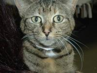 Domestic Medium Hair - Lea - Medium - Adult - Female -