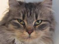 Domestic Medium Hair - Luca - Small - Adult - Female -