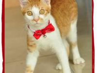 Domestic Medium Hair - Lucas - Large - Young - Male -