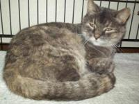 Domestic Medium Hair - Lucy - Large - Adult - Female -