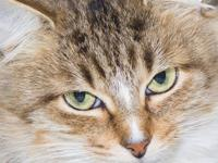 Domestic Medium Hair - Macey* - Medium - Adult - Female