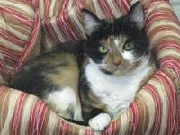 Domestic Medium Hair - Mary Lou - Large - Adult -