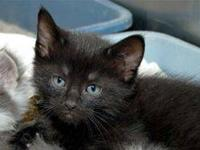 Domestic Medium Hair - Monkey - Small - Baby - Male -
