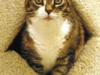 Domestic Medium Hair - Ms. Peaches - Medium - Adult -