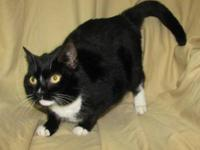 Domestic Medium Hair - Muffy - Medium - Baby - Female -