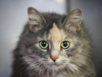 Domestic Medium Hair - Myra - Medium - Adult - Female -