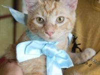 Domestic Medium Hair - Orange Titan is a very snuggly,