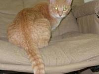 Domestic Medium Hair - Orange and white - Blondie -